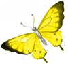 Mariposas amarillas macondo natural Finca La Jorara